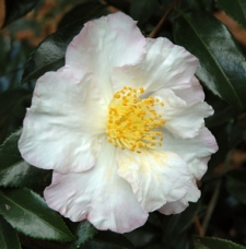 Virginia Camellia Society Show & Sale 2020