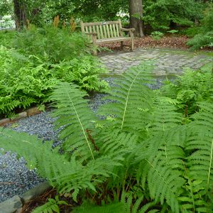 Ferns Are One Of The Oldest Group Of Plants On Earth, And There Are Many  Different Species Found All Over The World. There Are Many Species Native  To ...