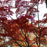 A photo of a Japanese Maple with red leaves.