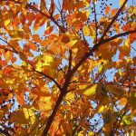 A photo of yellow and orange leaves on a cherry tree.