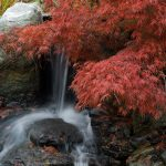 A photo of a waterfall and a Japanese maple tree in the Japanese Garden.