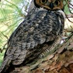 A great horned owl perched in a tree.