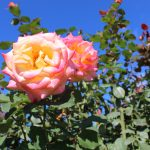 A photo of a pink and yellow rose in the Bicentennial Rose Garden.