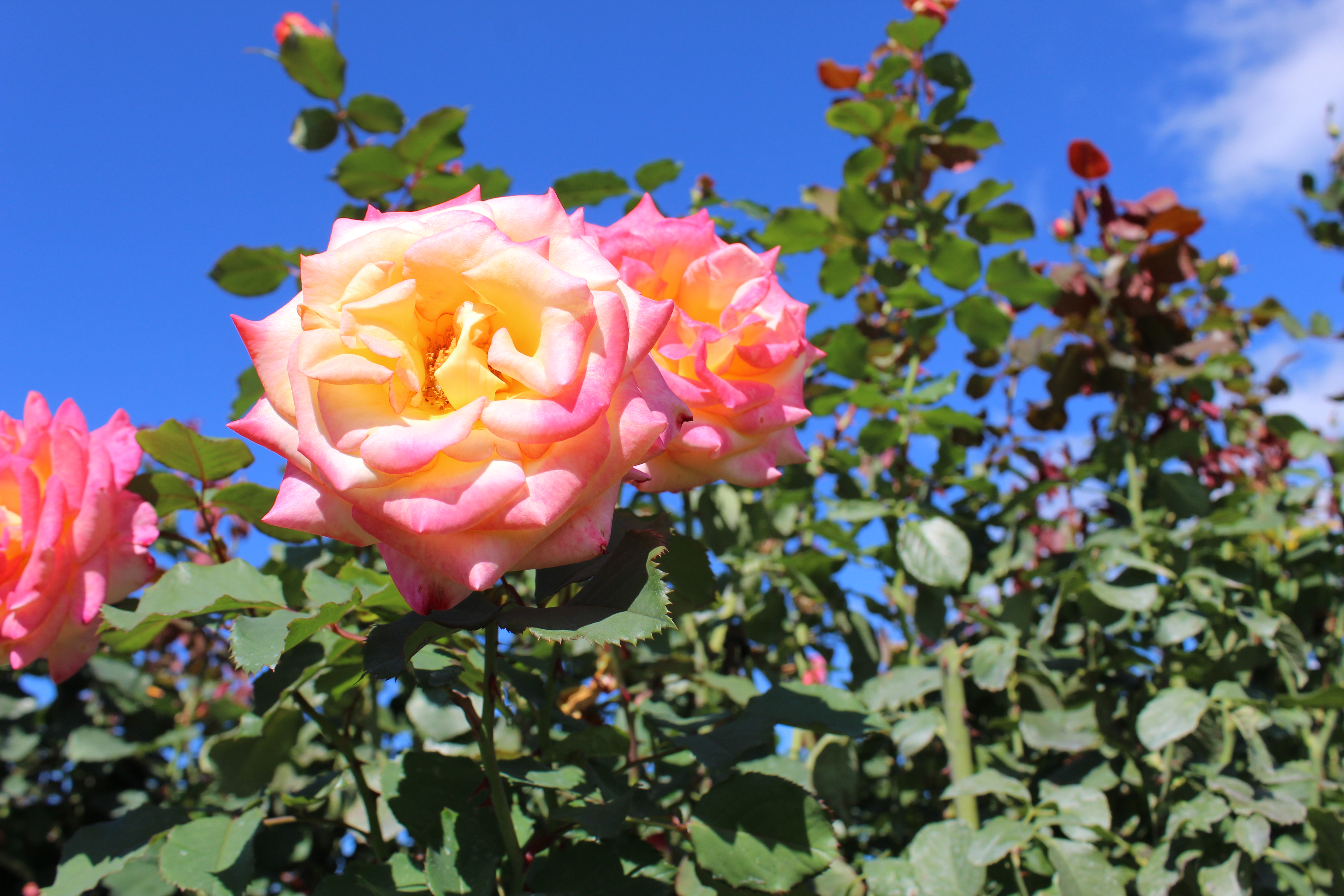 Wonderful World of Rose Diseases