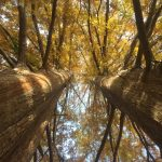 A photo of two redwood trees with fall foliage.