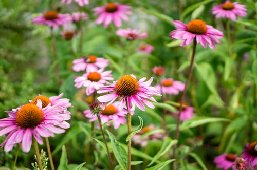 SOLD OUT Coffee & Conversation: Best Perennials and Annuals for Norfolk
