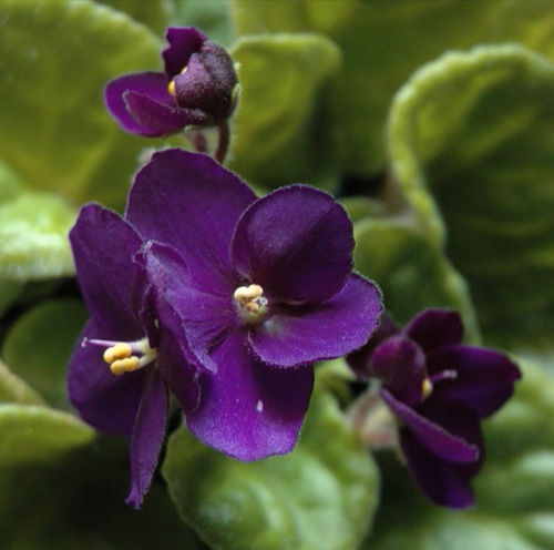 Tidewater African Violet Society Show & Sale