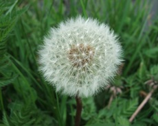 Intro to Edible Weeds
