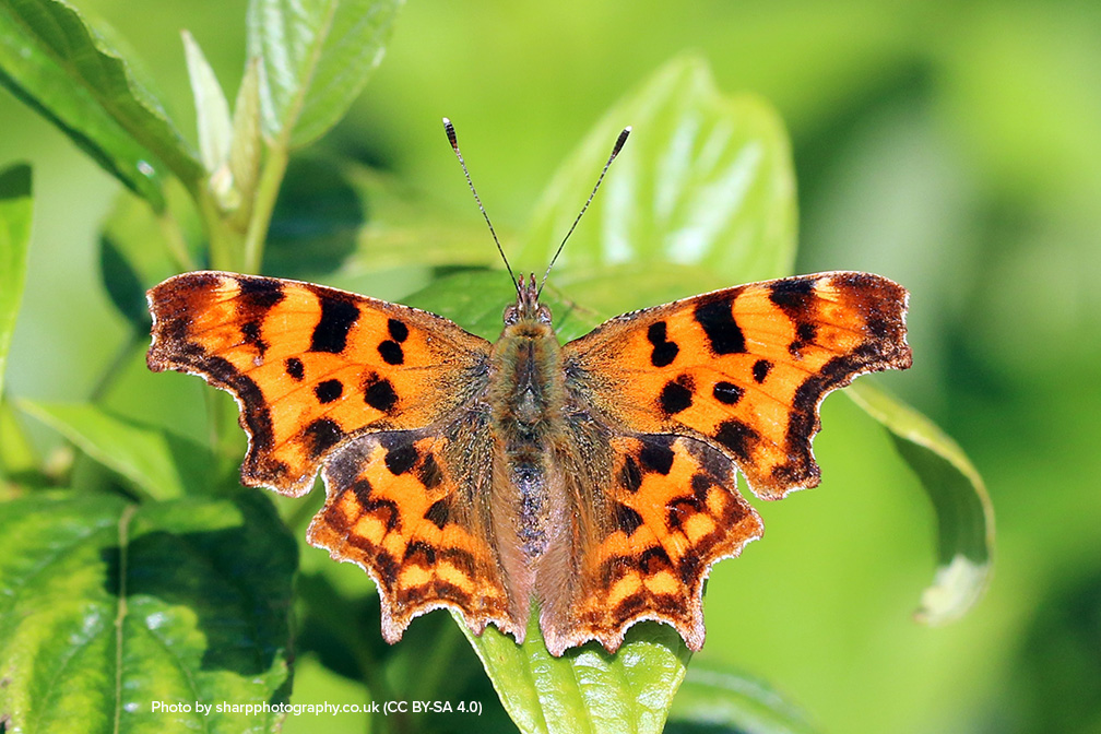 Attracting Butterflies to Your Backyard and the Host Plants for Their Caterpillars-Zoom Class