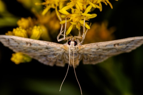 Moths 101: A Look at Moths Seen in Tidewater and Their Caterpillars-Zoom Class