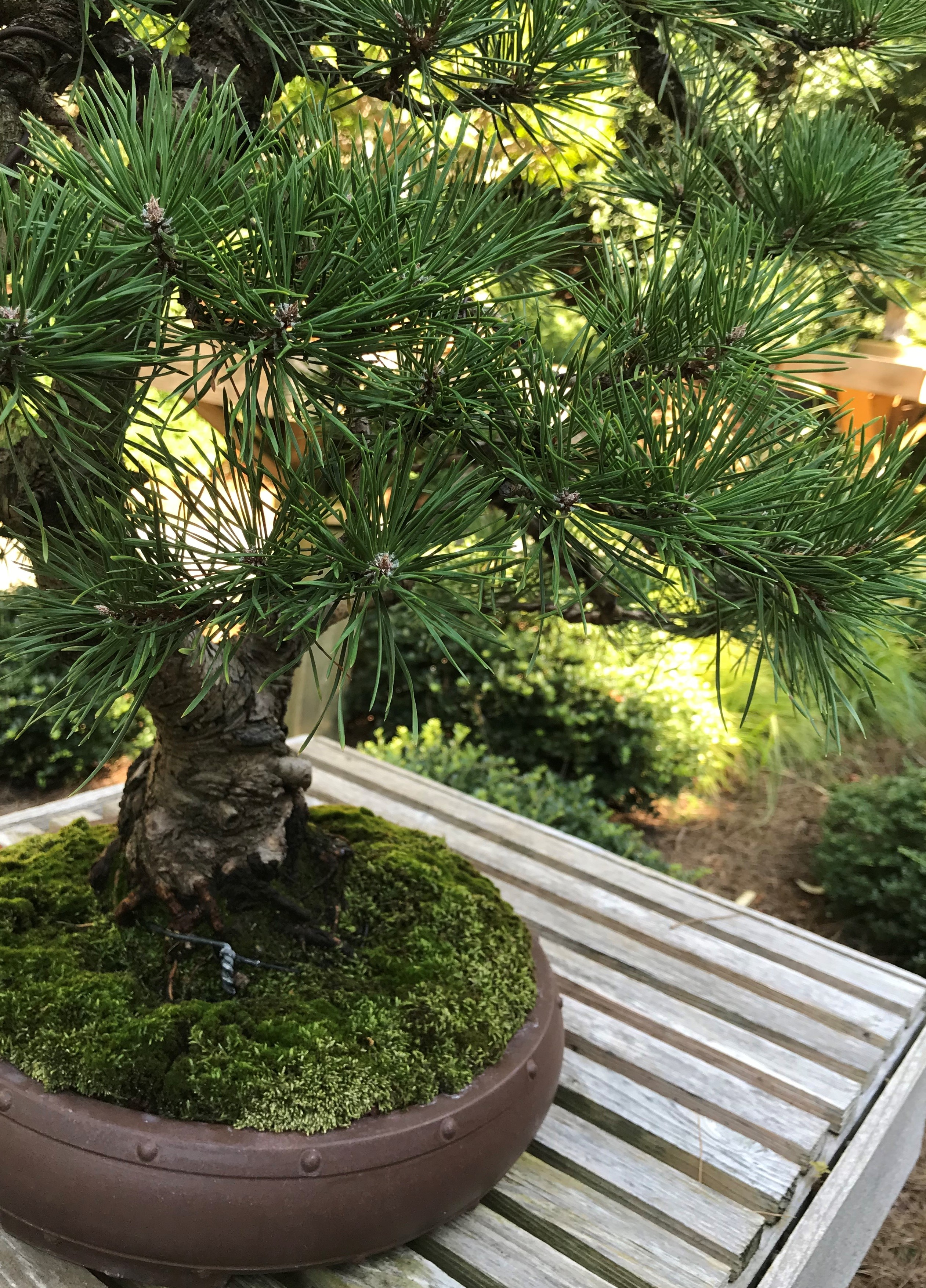 Bonsai Study Group: Application of Wire in Bonsai