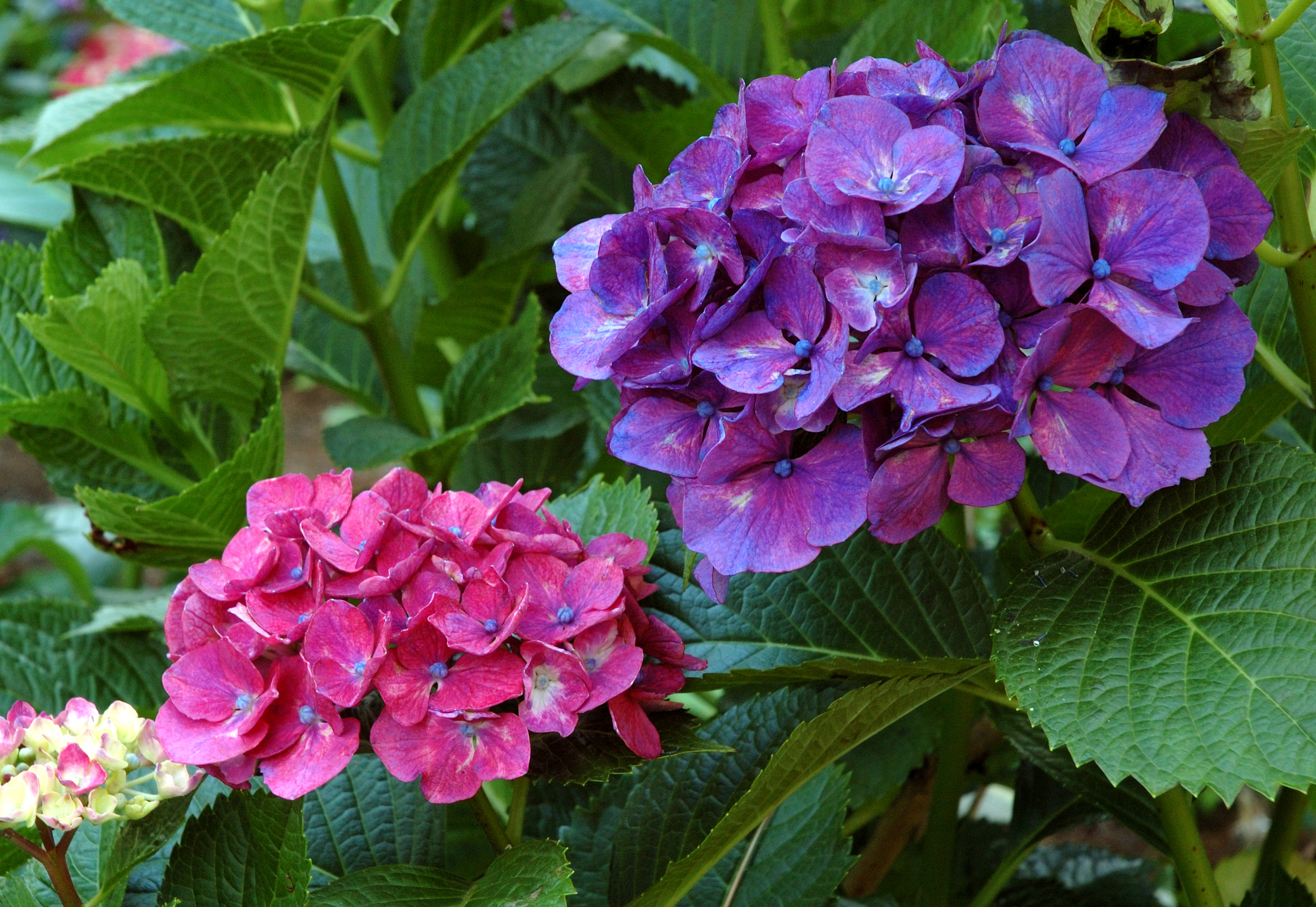 SOLD OUT Hydrangeas-the Big Leaf and the Beautiful