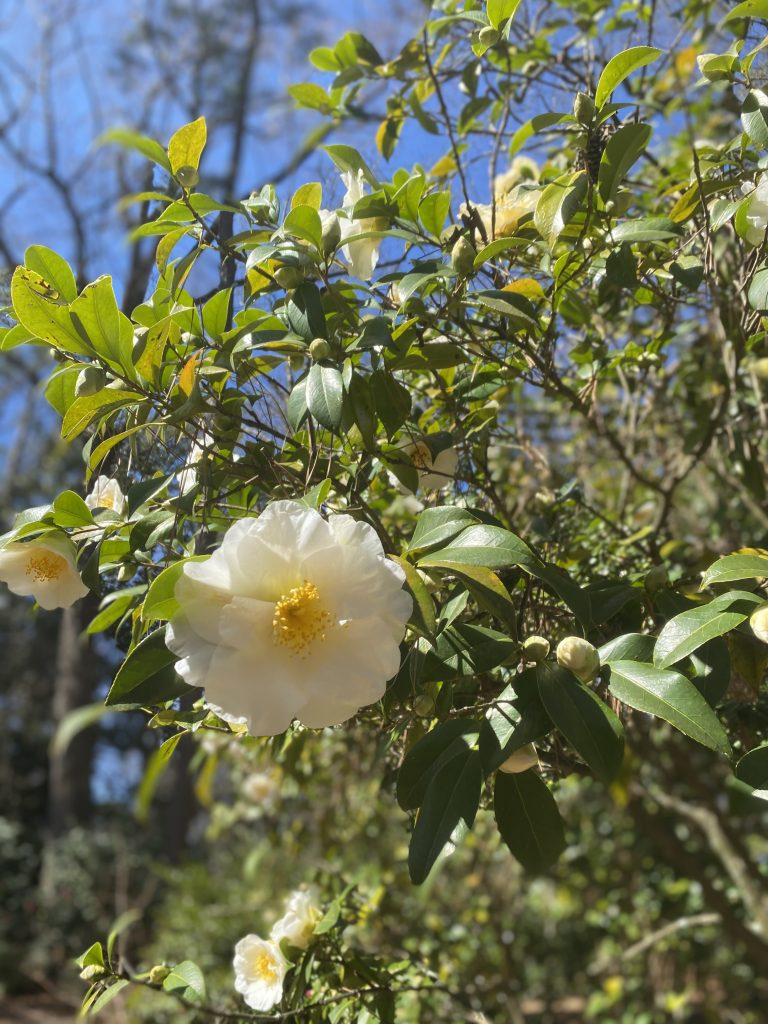 The image is of a white camellia flower