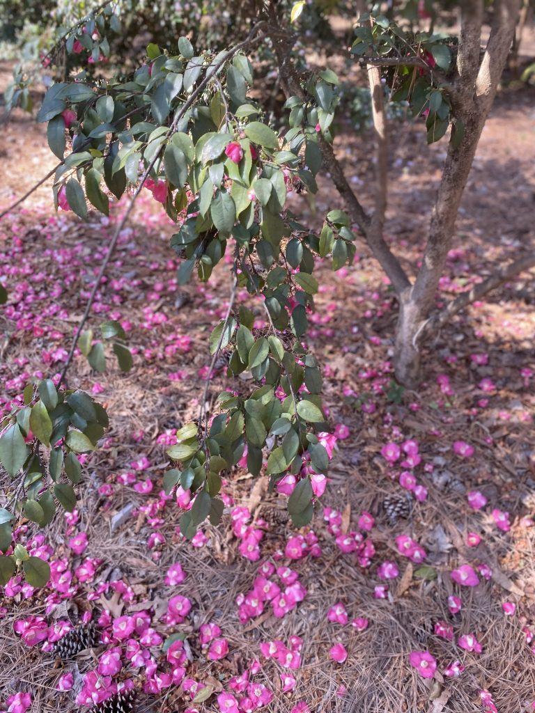 The image shows a weeping camellia plant.