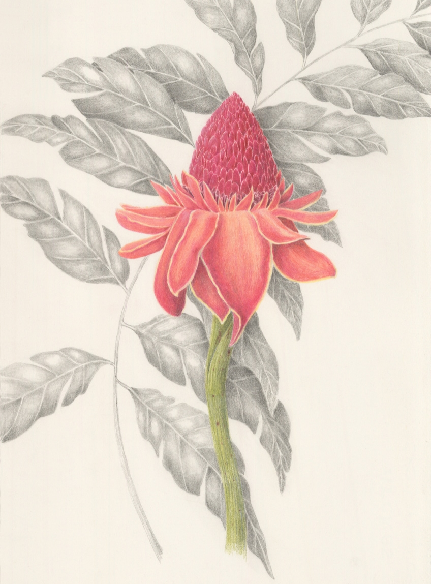 CANCELLED Intro to Botanical Colored Pencil
